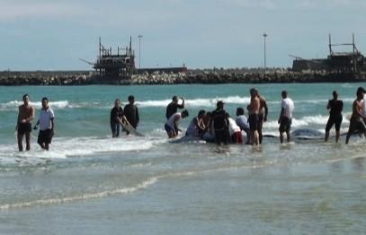 Cetacei spiaggiati, nessuna traccia di radioattività